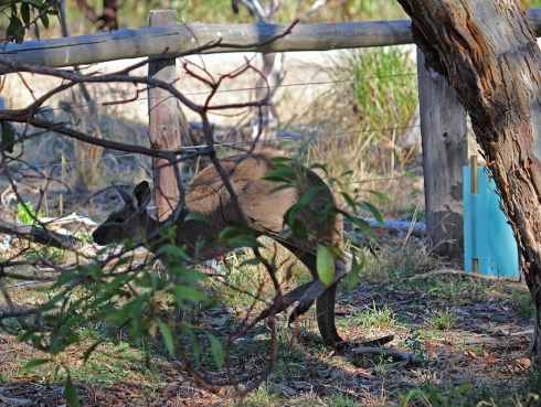 A joey balances on its tail and lifts its back legs before squeezing through the fence