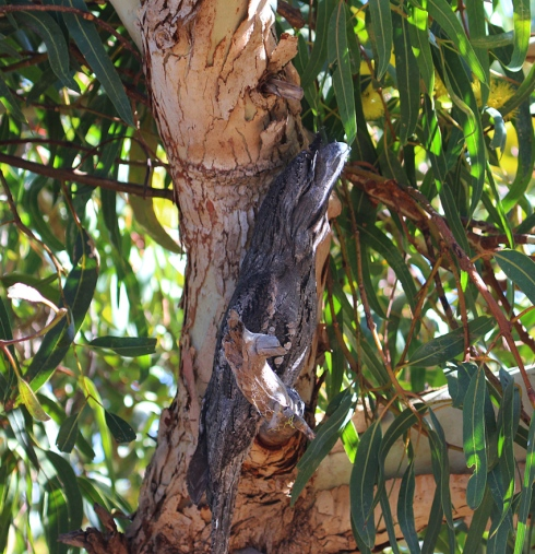 A tawny frogmouth exhibits its amazing camouflage