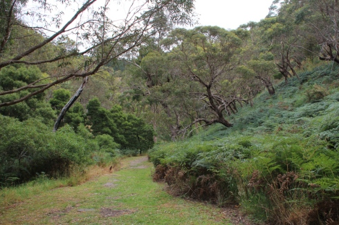 Bushland trail characterised by  eucalypts, bracken and low bushes (2)