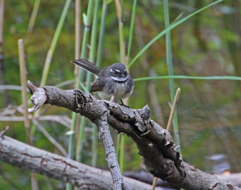 Grey fantail perching near the creek after eating an insect