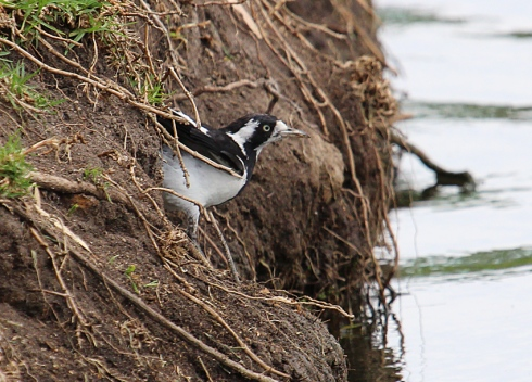 Mudlark or Murray magpie forging in the bank for grubs to feed young