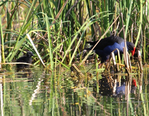 Purple swamp hen with chick near reed bed