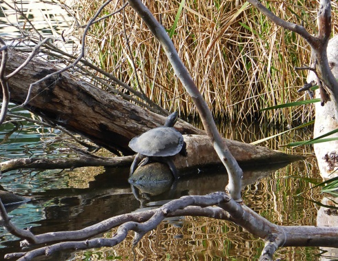 Snake neck turtle basking