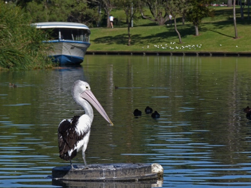 Torrens lake with Popeye and pelican