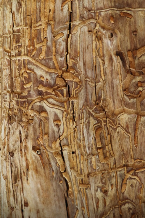 Wattle trunk scarred by boring beetles