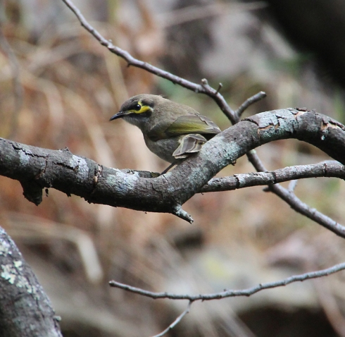 Yellow faced honeyeater in thicket