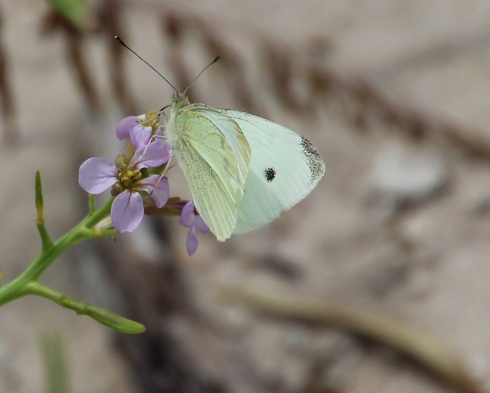 A spcies of White butterfly feeding on coastal blooming plants