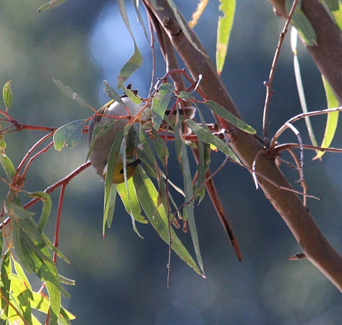 An acrobatic white plumed honeyeater feeding on small insects