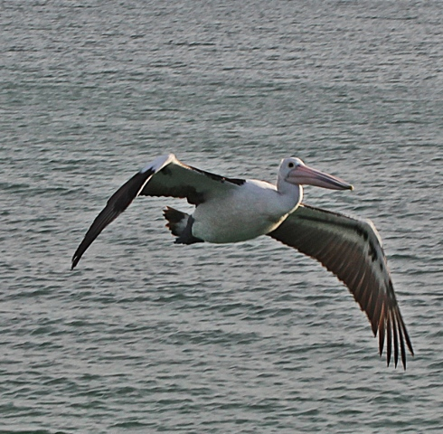 Despite their bulk pelicans are graceful in flight.