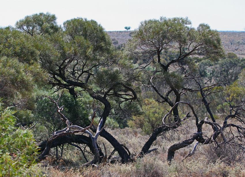 Mayall tree