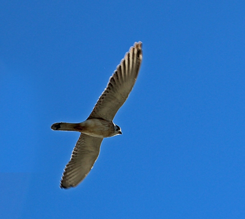 Nankeen kestrel in flight. one of the more common raptors that feeds mainly on ground dwellers but will attack other birds