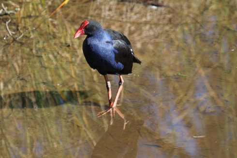 Purple swamp hens are often seen using their huge feet to climb over reeds