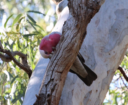 Rose breasted cockatoo or galah performing beak maintenance duties