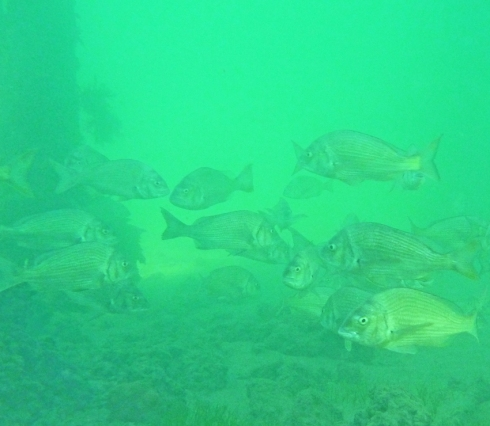 School of bream under the  jetty