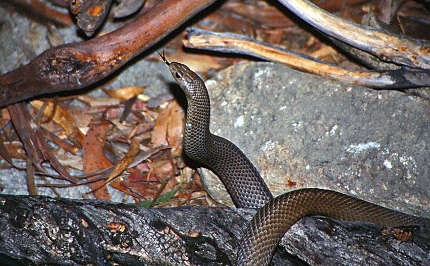 A brown snake flicks out its forked tongue to pick up chemical signals given off by prey.