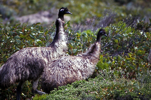 A pair of emus feeding in the coastal scrub