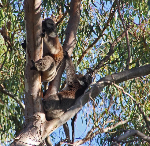 A pair of koalas climbing. Probably an adult fmale and mature joey.