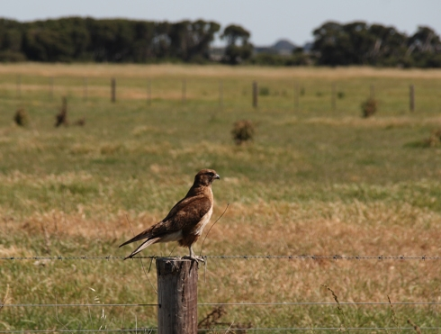 A swamp harrier rests on a fence post