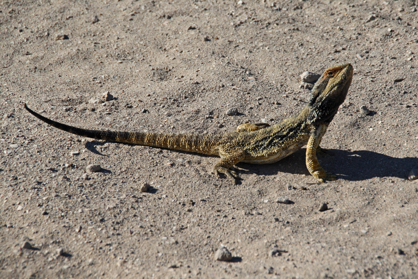 Bearded dragons tend to freeze when threatened relying on their camouflage to avoid predators