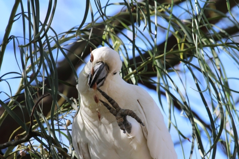 Sulphur crested cockatoo eating acacia seeds