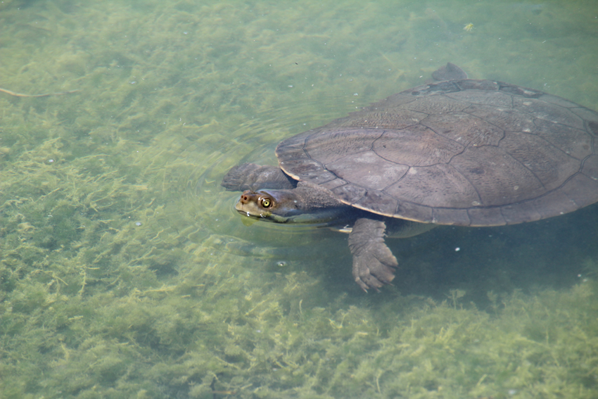 Australian freshwater turtles eat a variety of foods including insects ...