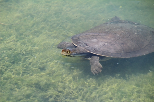 Australian  freshwater turtles eat a variety of foods including insect, small fish and yabbies