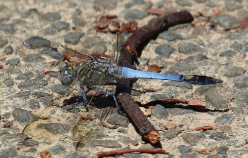 Large blue and red dragonflies are quite common around the lake