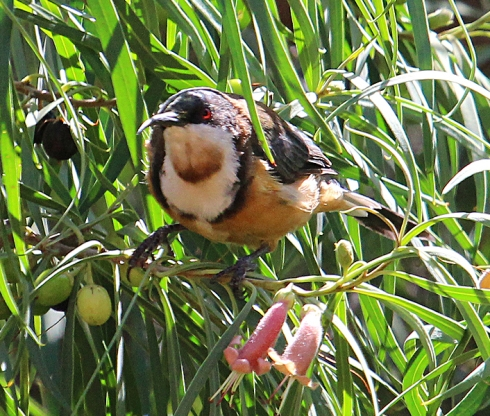 The eastern spinebill belongs to the honeyeater group