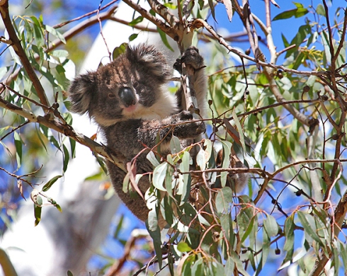 This young koala's mother was feeding a few metres higher in the tree