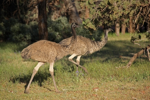 A pair of emus running alongside a walking trail at Wilpena
