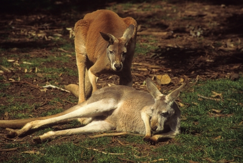 Red kangaroo male and female