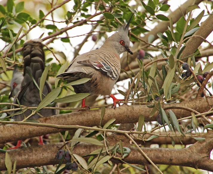 Crested pigeons in olive tree
