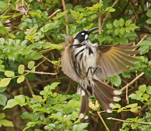 New holland honeyeater catching insect in mid flight