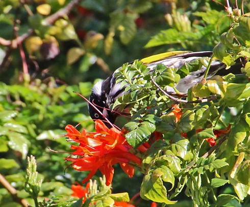 New holland honeyeater feeding on orange honeysuckle