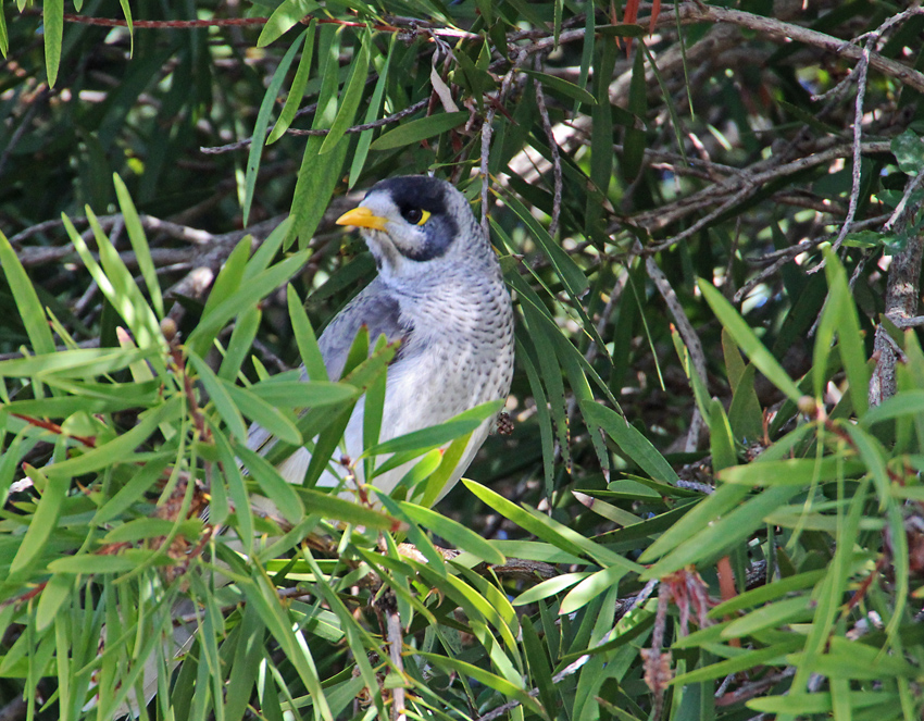 Noisy miner surveys the garden with a bandit glare