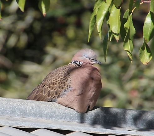 Spotted dove snoozing on the garage roof