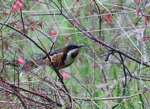 1a Eastern spinebill  foraging in shrubs