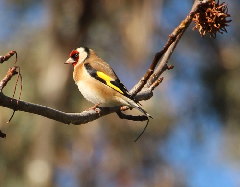 1a European goldfinch in liquid amber tree