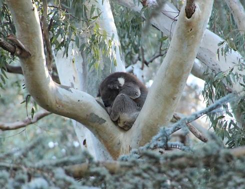 1a koala in tree
