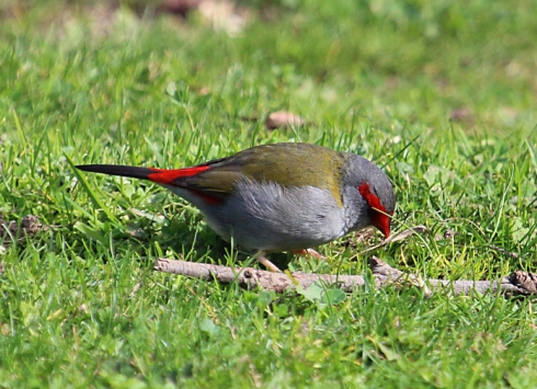 2 Red-browed finches like to live in thick ndergrowth