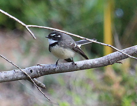 Grey fantails