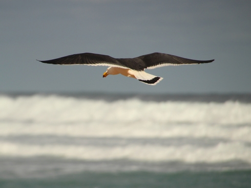 Pacific gulls forage along the edge of the ocean eating a wide variety of foods from fish to moluscs and even other birds