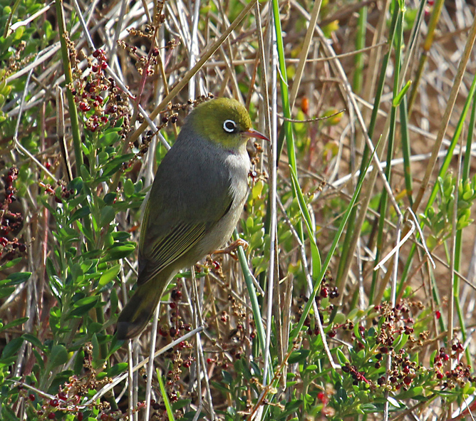 Silvereyes feed on insects, fruit and nectar
