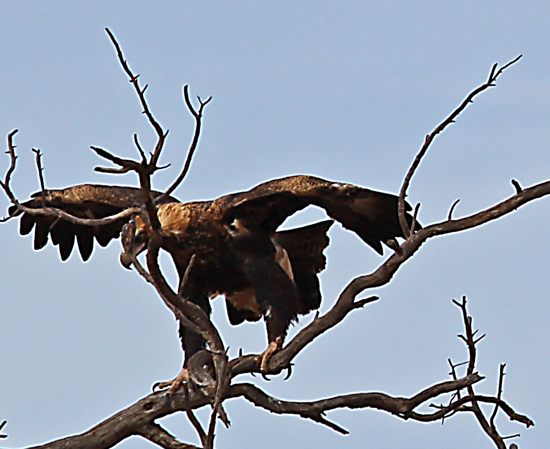 1 wedge tail 1. Australia's largest raptor with a wingspan over 2 meters