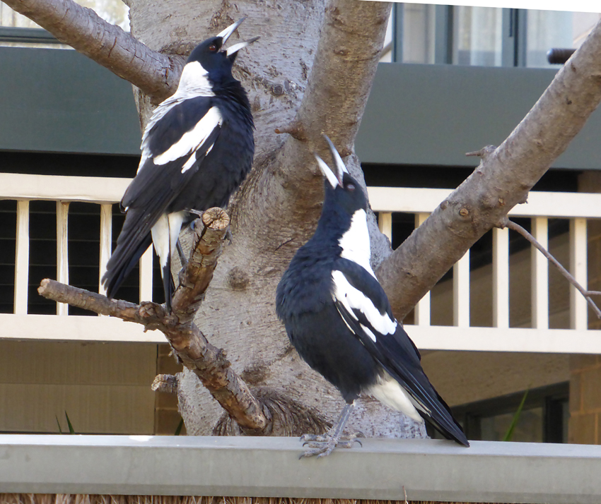 rosella | Naturally South Australia