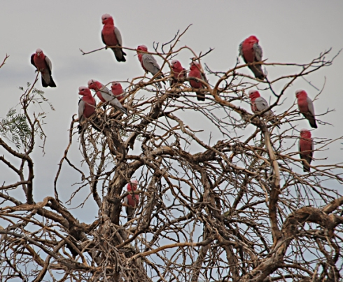2 Galahs iin bush near wheat fields