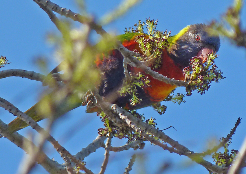 2 Lorikeet feeding