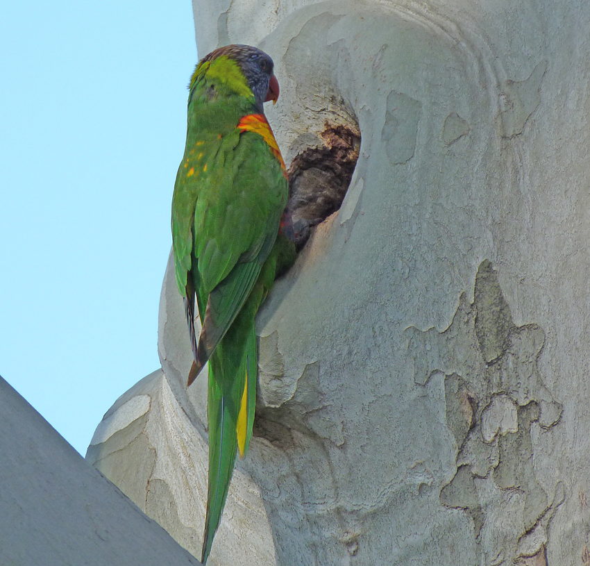 2 Rainbow lorikeet scouting for real estate