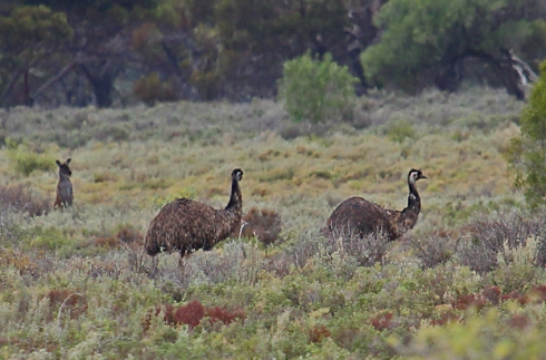 4 As a pair of emus head towards the trees a grey kangaroo pops its head up