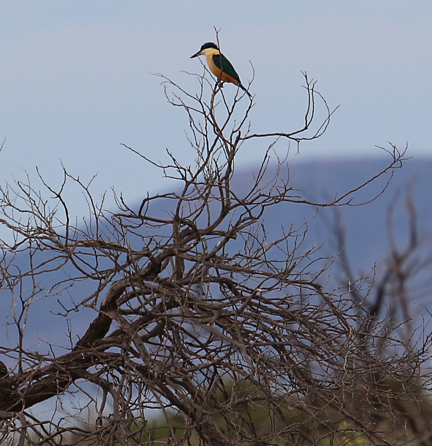 9 Momentary glimpse of a sacred kingfisher